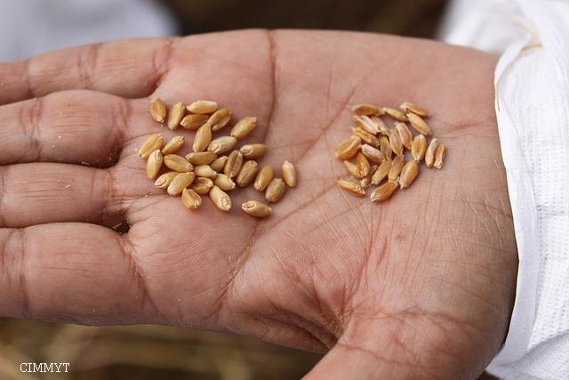 semences-hybrides-versus-semences-traditionnelles