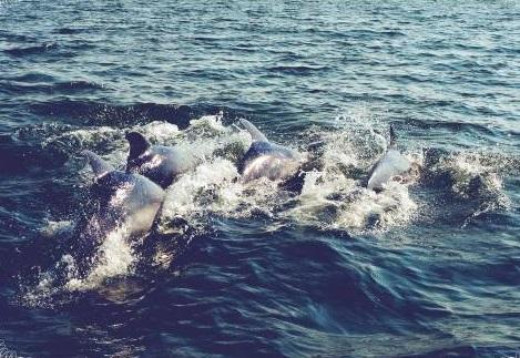 schwarzmeer-delphine-adoptionskampagne-zum-schutz-der-empfindlichen-saeugetiere
