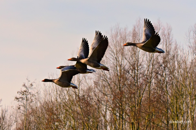 Новий вид гуся у фауні Румунії