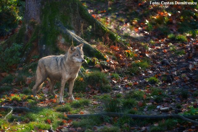 carpathian-wolves-
