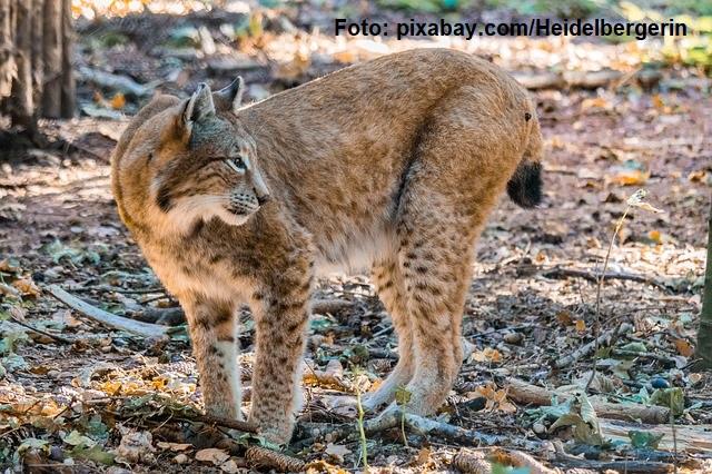 euro-large-carnivores-wwf-projekt-fur-konfliktpraevention-und-koexistenz-mit-grossen-raubtieren