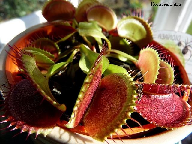 plante-insectivore-pe-post-de-cadouri