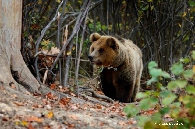 les-ours-des-carpates