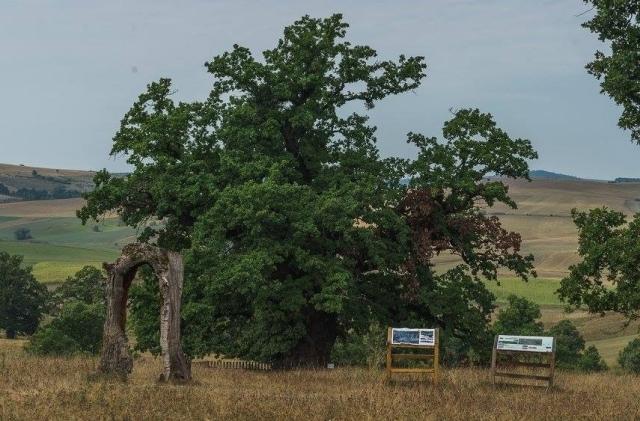 sarbatoarea-celui-mai-batran-stejar-din-romania