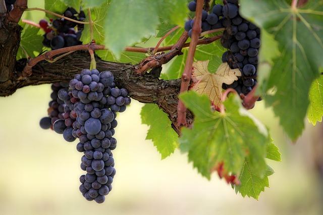 תיירות יין ברומניה