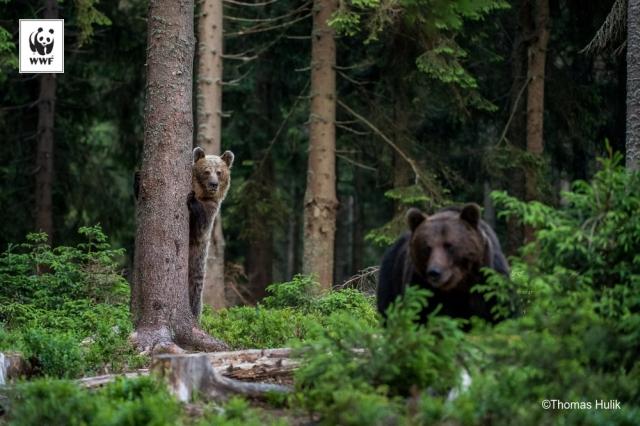 Проект захисту великих хижих тварин в Карпатах