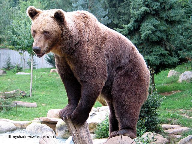 busteni-ursi-in-oras
