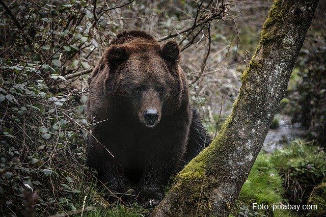 Як утримати ведмедів подалі від людських поселень?