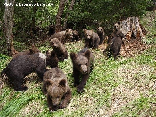 Ситуація ведмедів у Карпатах