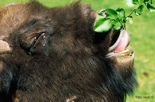 proteger-les-bisons-deurope