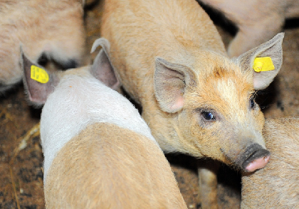 african-swine-fever-in-romania-