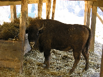 european-bison-in-romania-