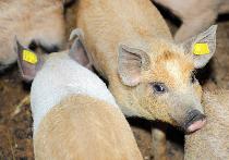 Pesta porcină africană în România