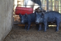new-swine-fever-outbreaks