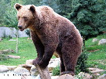 carpathian-bears-